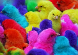 shocking-video-of-how-colored-chicks-are-made-in-india